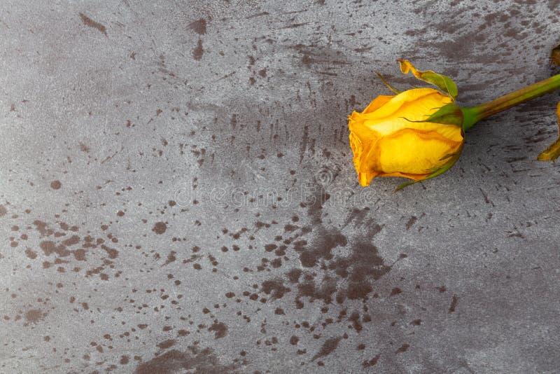 Rose jaune de fanage simple sur un fond gris photographie stock libre de droits