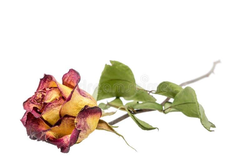 rose Jaune-rouge avec les feuilles sèches d'isolement sur le blanc photo stock