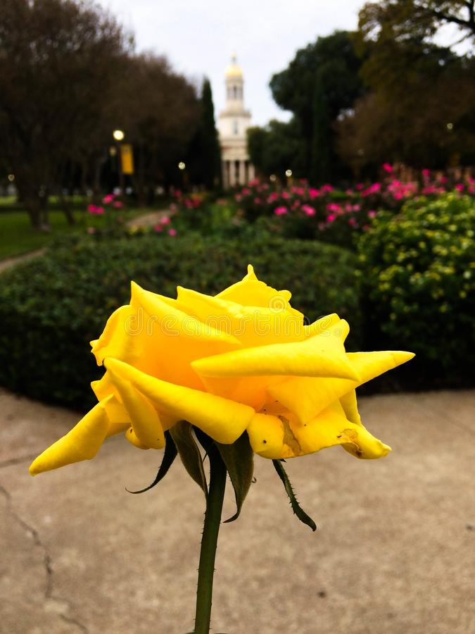Rose jaune solitaire images stock