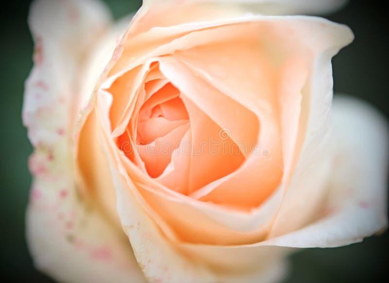 Rose kräm arkivbilder
