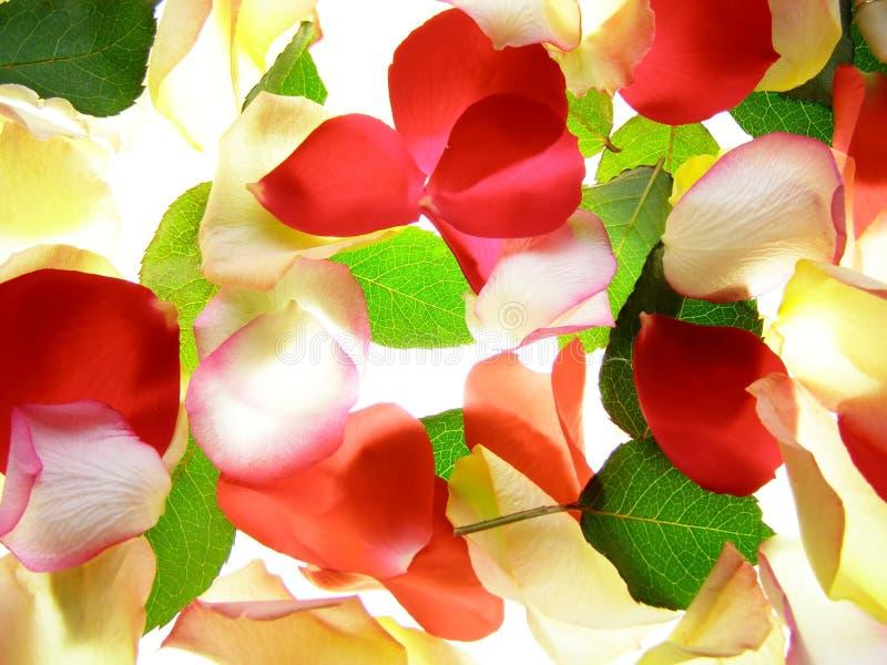 rose kwiaty obrazy royalty free
