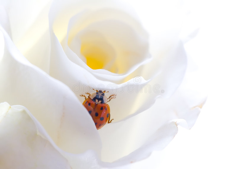 rose ladybird zdjęcia stock