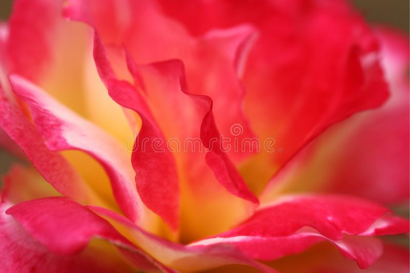 Beautiful Double Delight Pink Red and Yellow Rose. Rose is large and yellow until it begins to open and then it aquires shades of pink, red, and deeper yellow stock images