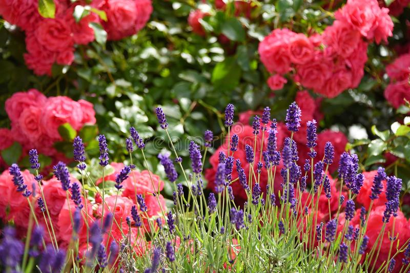 Rose and lavender in the garden stock photography