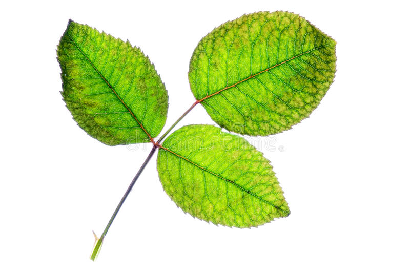 Rose Leaf. Isolated. stock photography