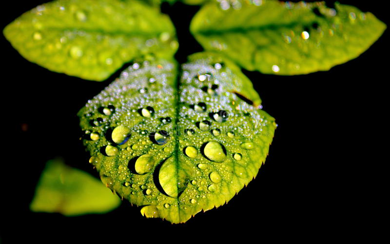 Rose leaf with morning dew stock photos