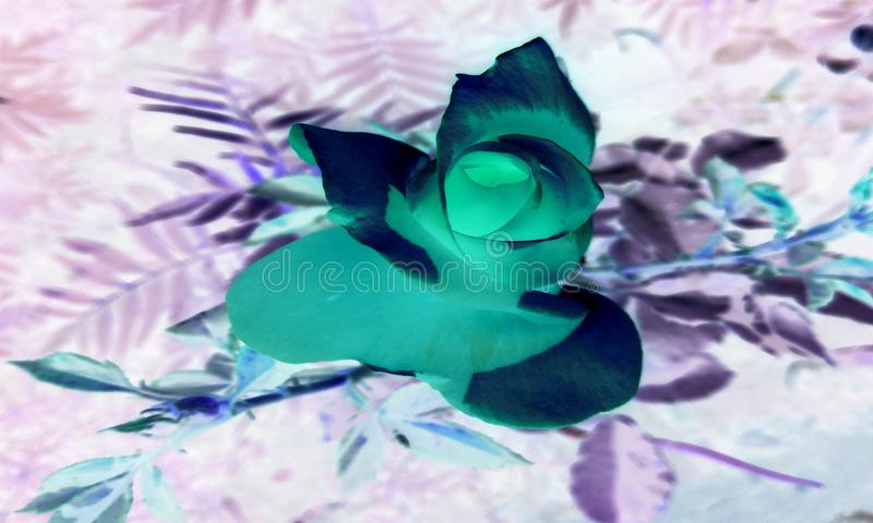 Close up Rose flower head with outdoor garden. stock illustration