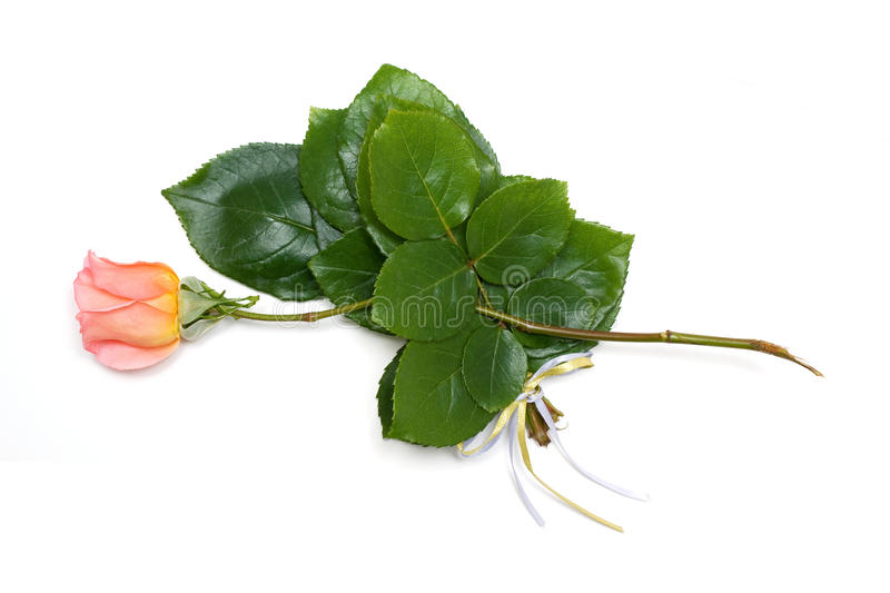 Rose and leaves isolated on white background stock photo