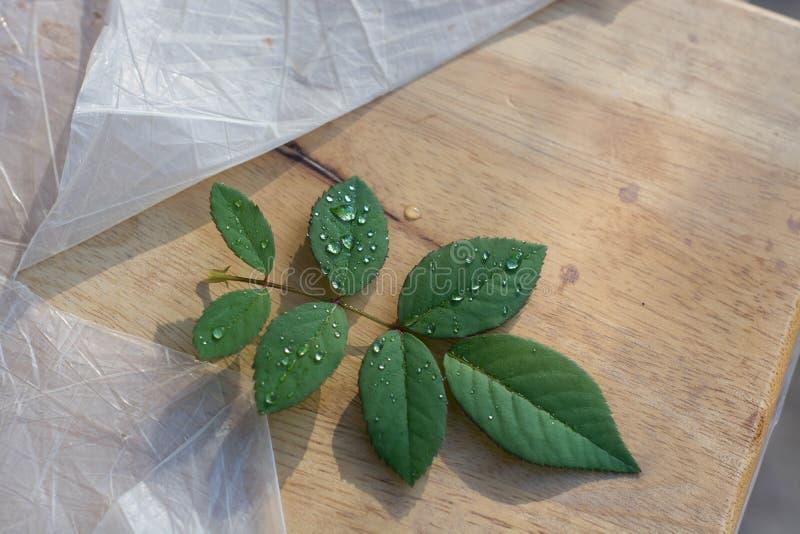 Rose Leaves fotografia stock libera da diritti