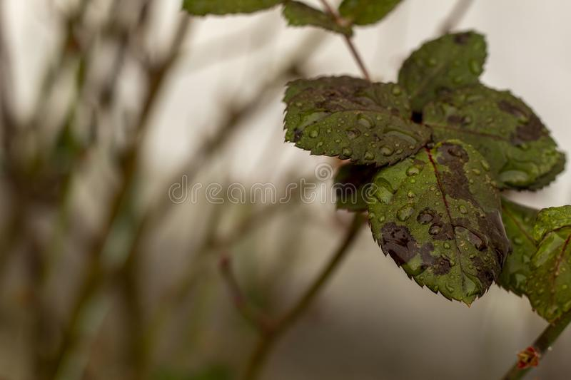 Rose leaves with drops of water stock photos