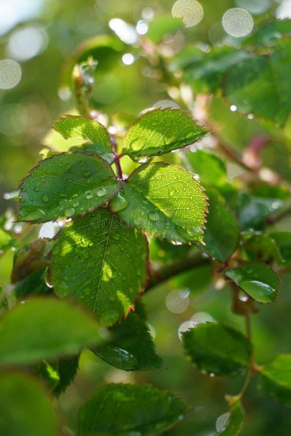 Rose Leaves molhada fotos de stock