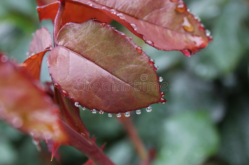 Rose leaves with raindrops in garden royalty free stock photography