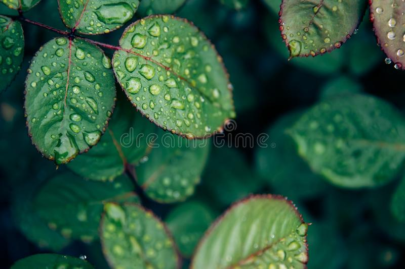 Rose leaves with water drops after rain. Concept background flora.  royalty free stock images