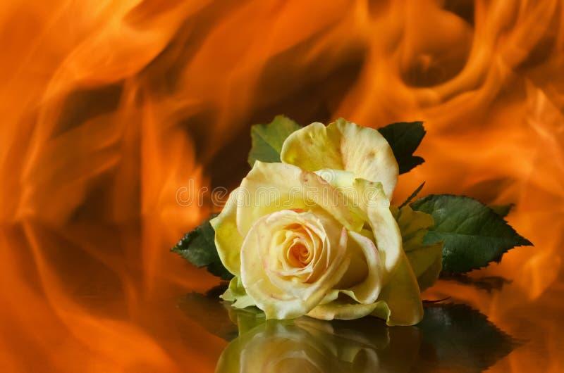 Rose liegt auf einem Hintergrund der Flamme stockfotografie