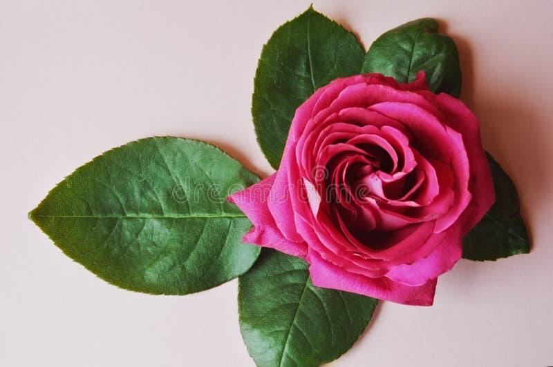 Rose on light background. stock photos