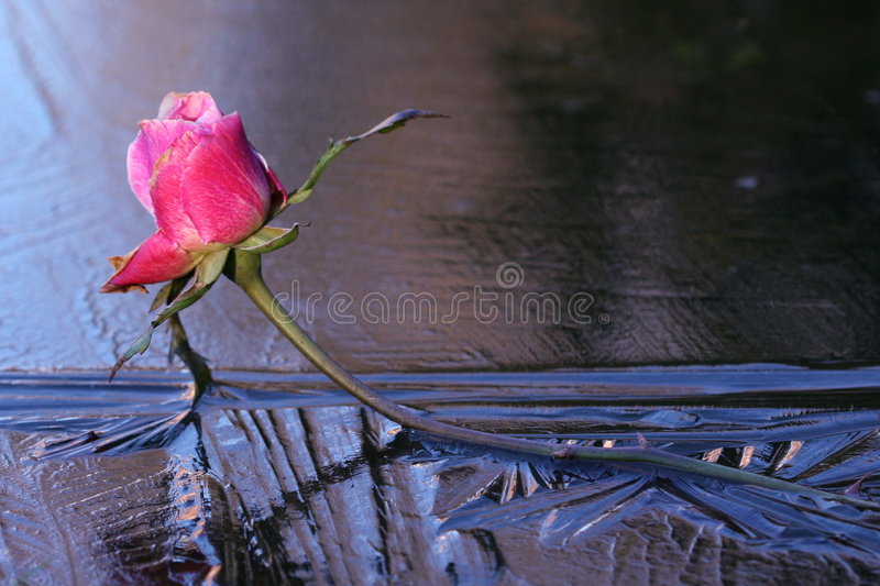 rose lodu. obraz royalty free