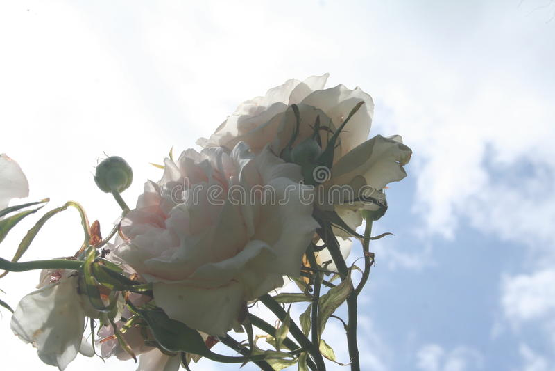 Rose Looking Upwards stock foto's