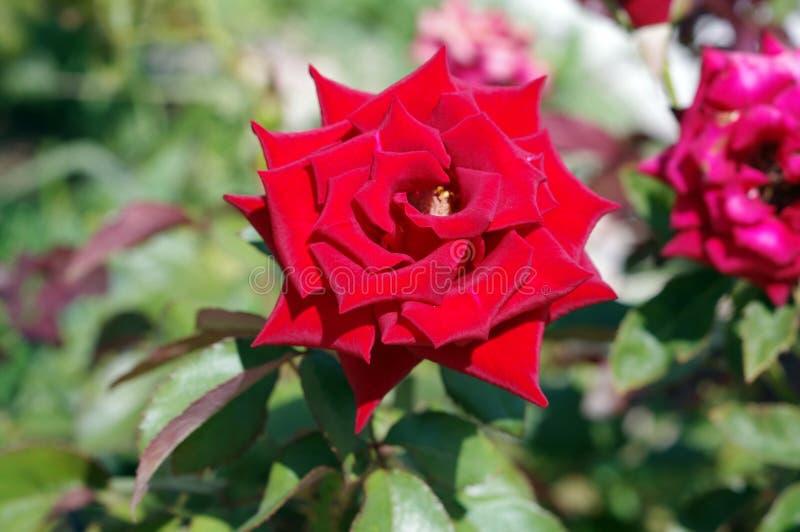Rose lumineuse de rouge fleurissant sur un plan rapproché de buisson photo libre de droits