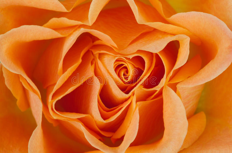 Download Rose Macro Royalty Free Stock Photography - Image: 21457957