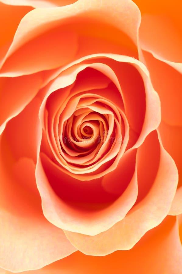 Rose macro royalty free stock photo