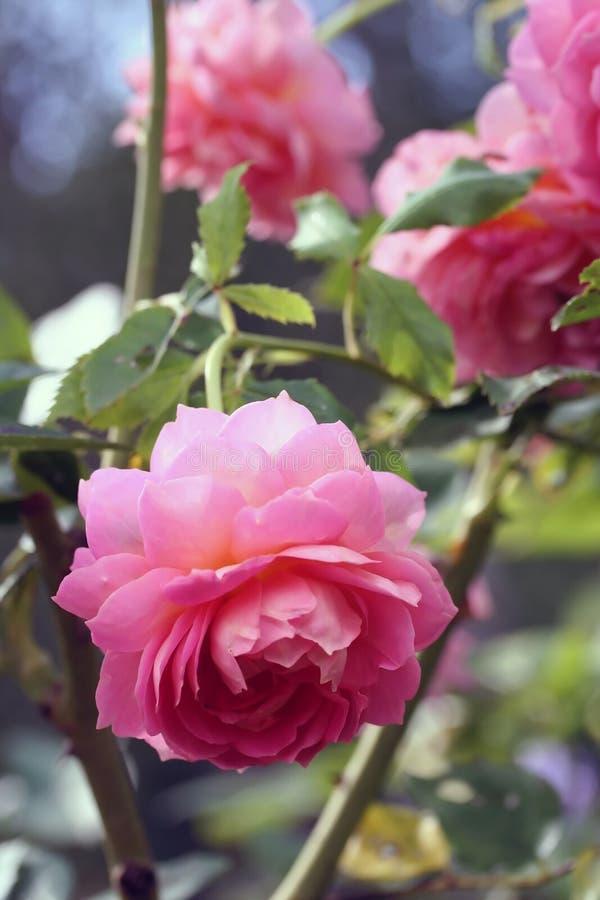 Rose macro, retro photo filter effect. Instagram style royalty free stock image