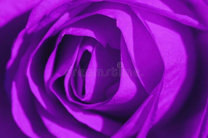 Rose Macro ultra-violette images libres de droits