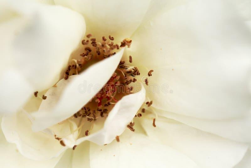 Rose Macrophotography bianca immagine stock