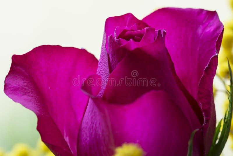 Rose magenta fotos de archivo