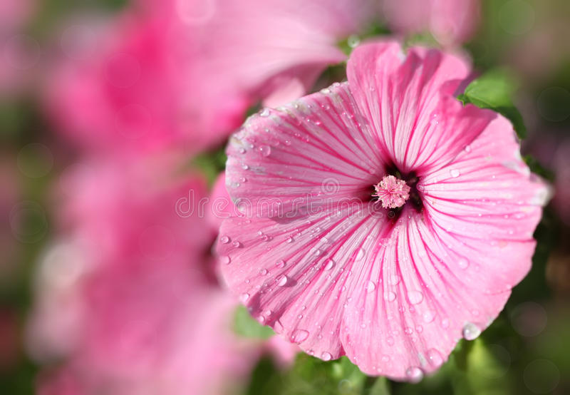 Rose Mallow. Water droplets on Rose mallow flowers or lavatera in the home garden stock images