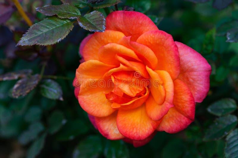Rose miniatura foto de archivo libre de regalías