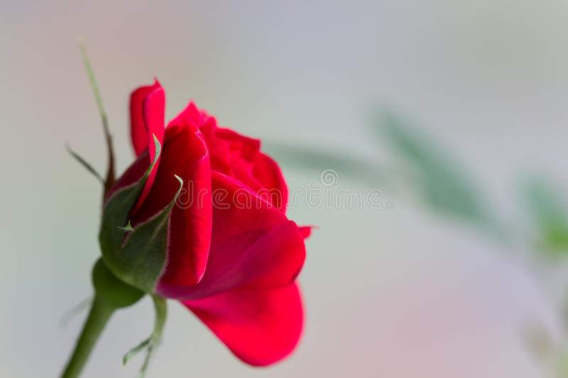 Rose miniature de rouge photos libres de droits
