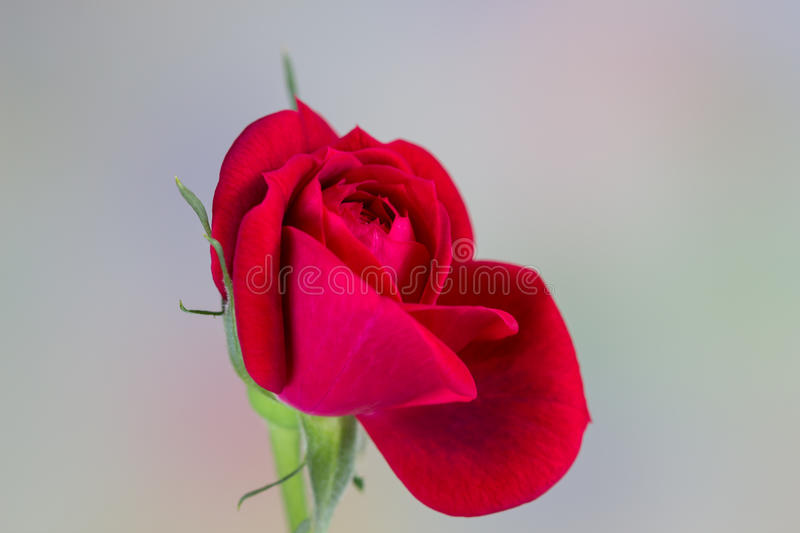 Rose miniature de rouge image libre de droits