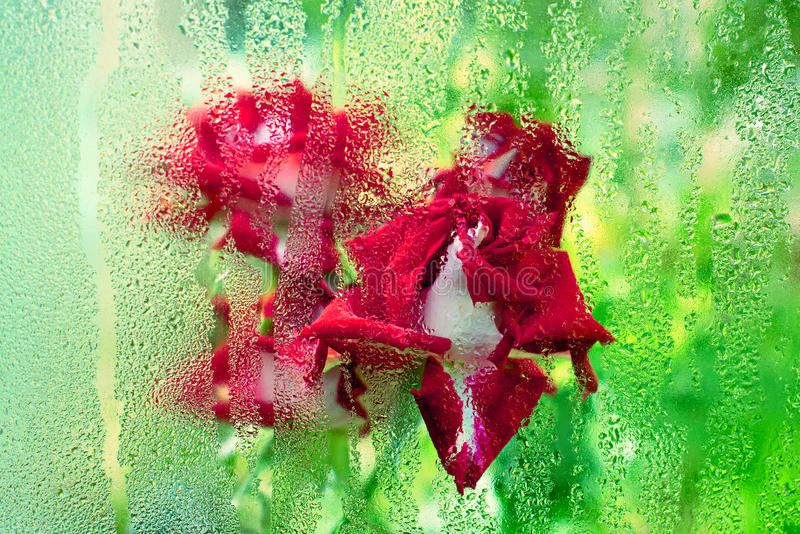 Rose through misted glass royalty free stock image