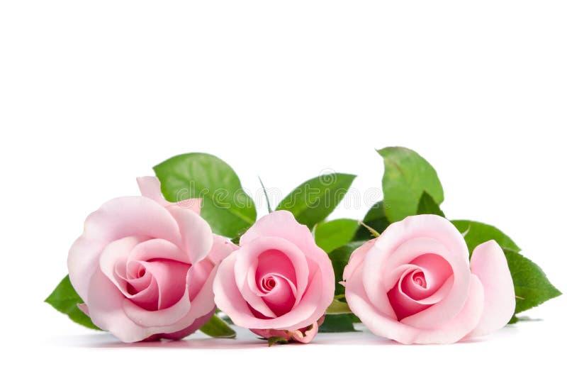 Rose mit drei Rosa, die auf Weiß liegt lizenzfreie stockfotos