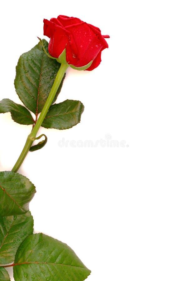 Rose mit Exemplarplatz lizenzfreie stockfotos