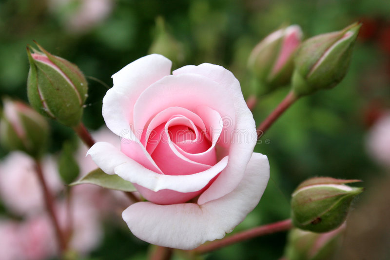 Rose mit Rosebud lizenzfreies stockfoto