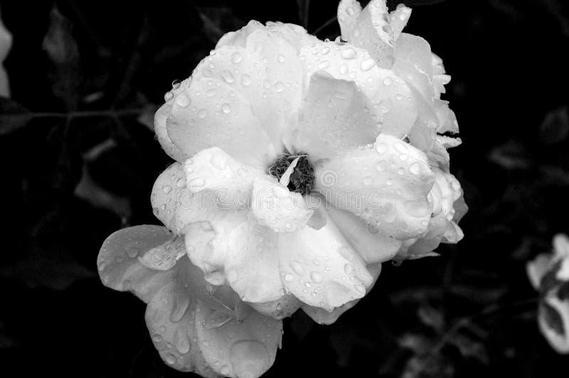 Rose mojada B&W fotografía de archivo