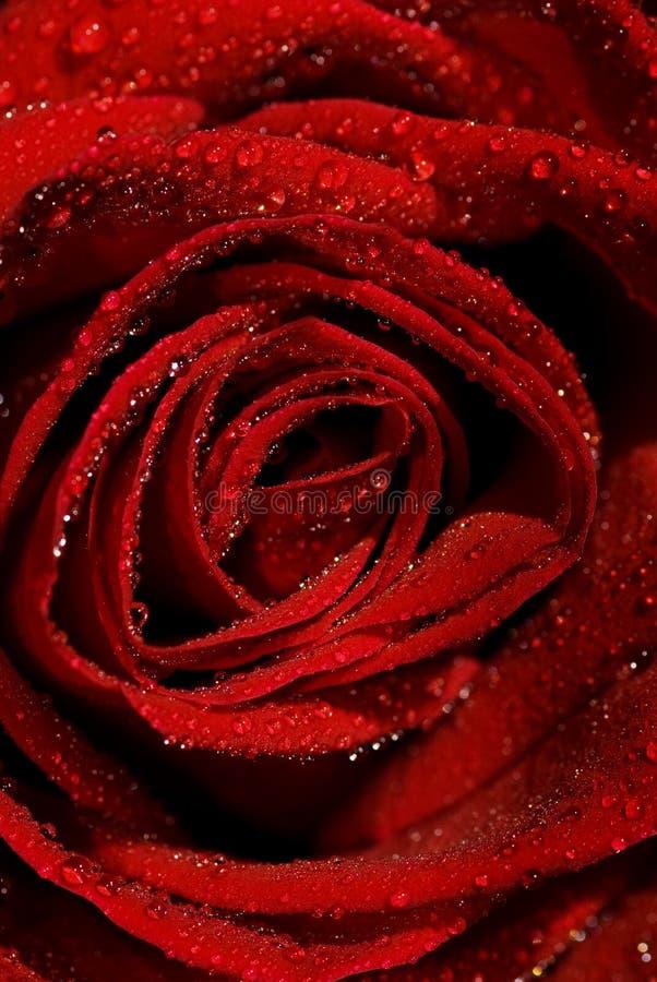 rose mokre obrazy stock