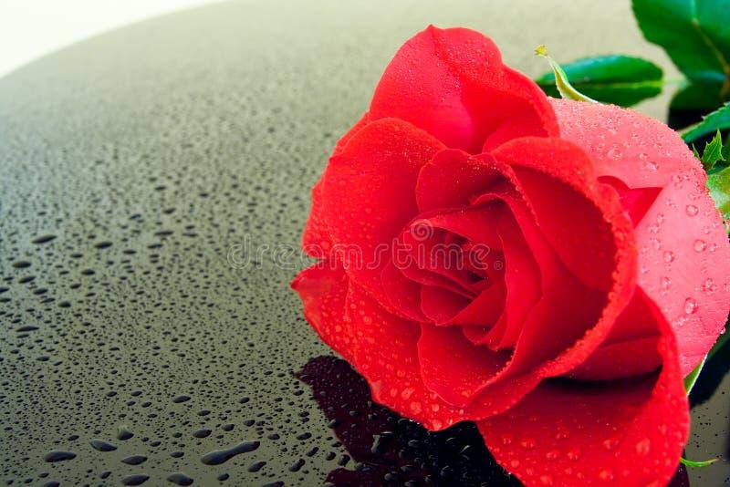 rose mokre fotografia stock