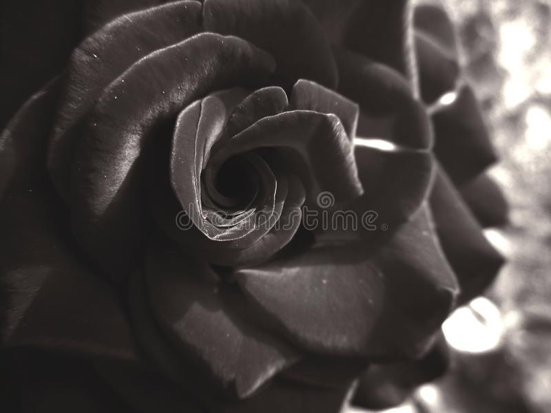 Rose in monochrome stock image