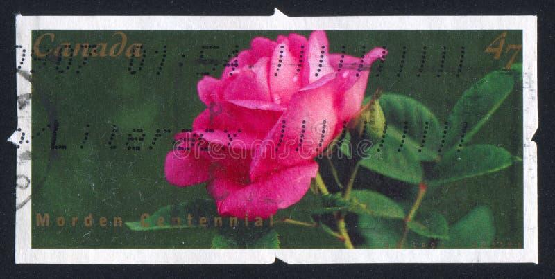 Rose Morden. CANADA - CIRCA 2001: stamp printed by Canada, shows Rose Morden Centennia, circa 2001 stock photography