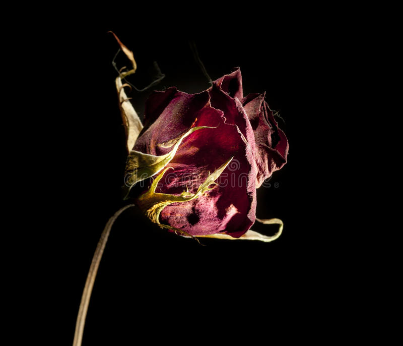 Rose morte images stock