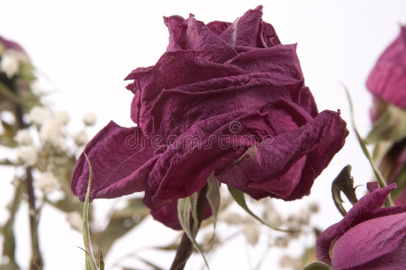 Download Rose morte photo stock. Image du nature, âgé, verdure, fleur - 65458