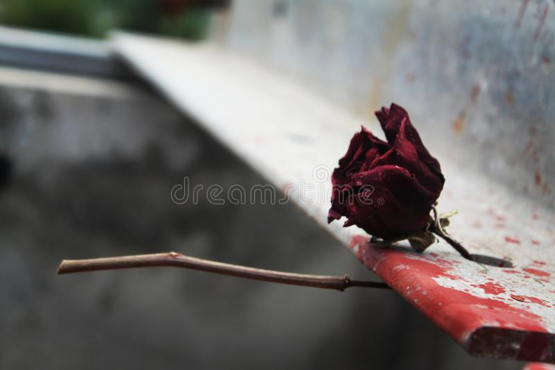 Rose morte images libres de droits