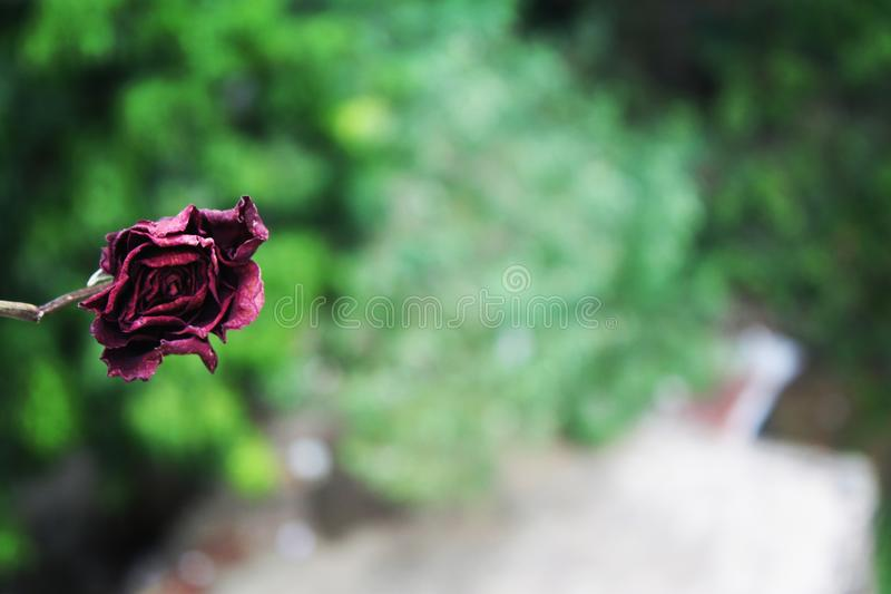 Rose morte photographie stock libre de droits