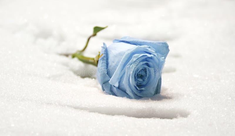 rose mrożone obraz royalty free