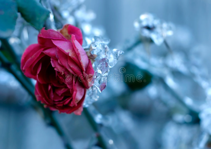 rose mrożone zdjęcie royalty free