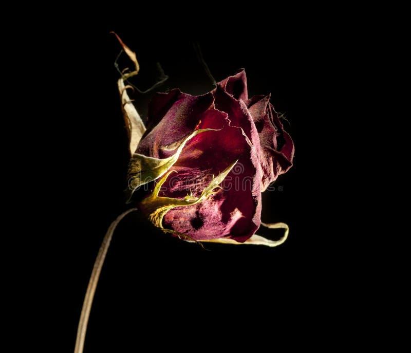 Rose muerta imagenes de archivo
