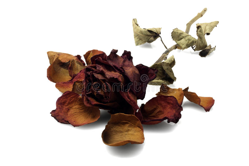 Rose muerta foto de archivo libre de regalías