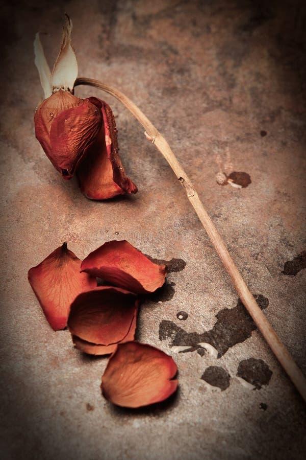 Rose muerta imagen de archivo libre de regalías